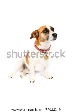 Small Jack Russell Terrier sitting
