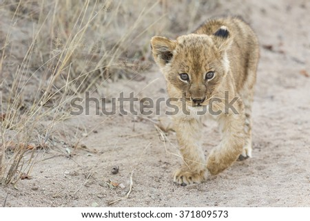Small lion cub walking along a dirt road with grass