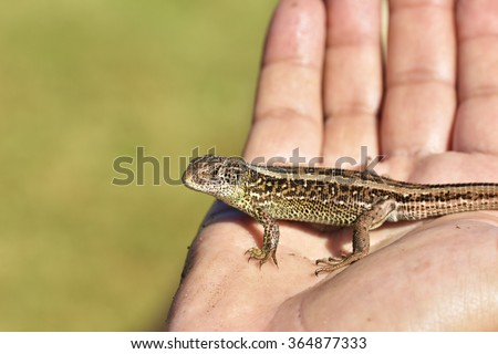 Small lizard sits on hand