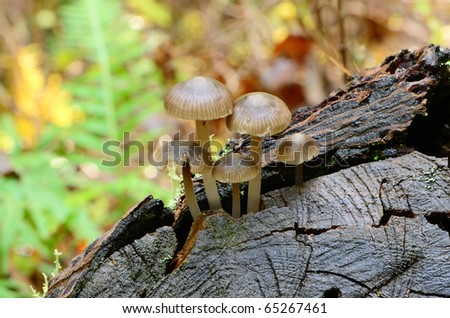 Small mushrooms growing on the stump of douglas fire tree in the
