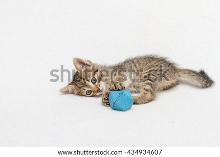 Small Norwegian Forest kitten playing with his favorite toy blue.