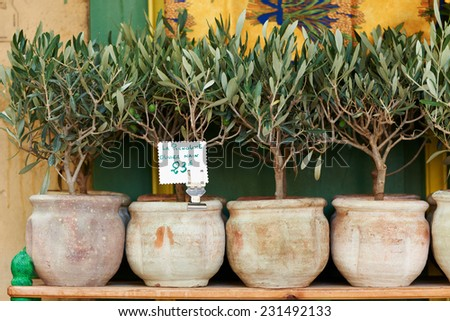 Small olive trees in pots, bonsai plants for sale in Provence, France