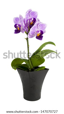 Small orchid with purple middles  in the pot isolated on a white background