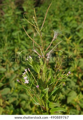 small pink flower of wild plant