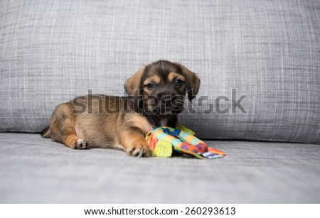 Small Puppy on Gray Sofa Playing