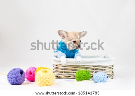 Small purebred puppy on  white background. Pet in the studio.