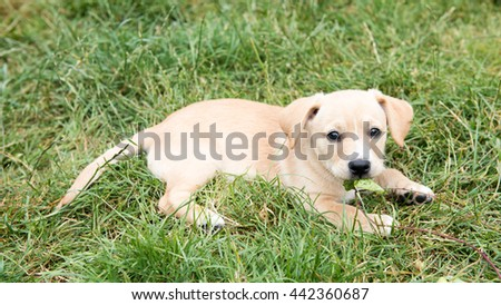 Small Tan Puppy Playing Outside on Green Grass