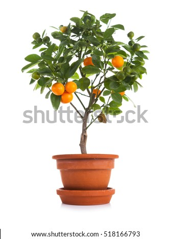 Small tangerines tree in pot