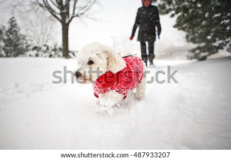Small white dog bichon frise in red sweater outside walking through snow in park during winter