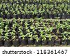 Small Zinnia flower in greenhouse nursery - stock photo