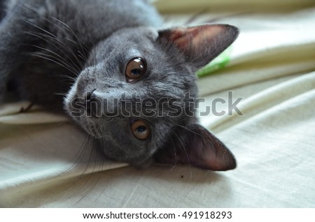 smoky gray cat with brown eyes