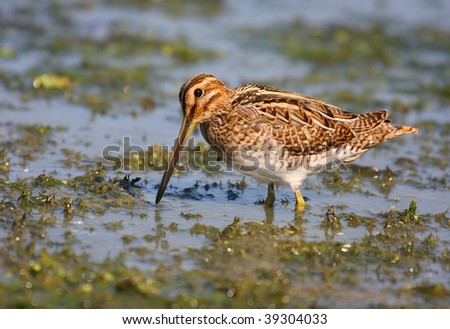 Snipe in swamp