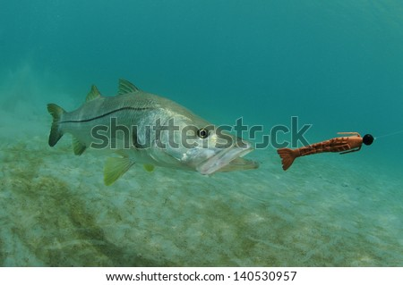 snook fish swimming after lure in the ocean