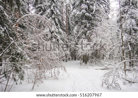 Snow and forest before Christmas. Nature of Eastern Europe