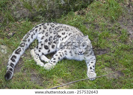 Snow leopard lying on the ground in a zoo
