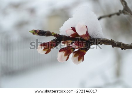 Snow on apricot tree buds