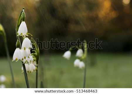 Snowdrops on snowflake flowers in light rain in spring
