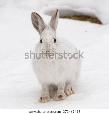 snowshoe hare in eastern ontario winter