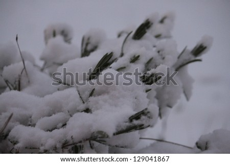 Snowy Boxwood Branch