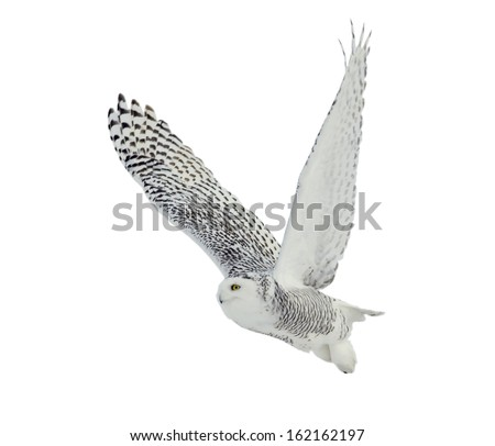 Snowy Owl on White Background
