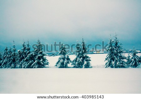 Snowy rural  landscape. Fir trees in the foreground