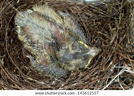Social Flycatcher (Myiozetetes similis) chick in a nest in the Ecuadorian Amazon