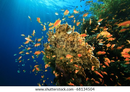 Soft Coral and Lyretail Anthias fish