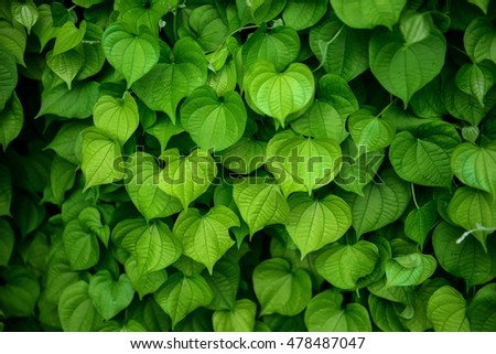 Soft focus and background blur Heart-shaped leaves.