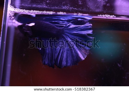 soft focus motion blur of vivid dark blue color Betta fish tail swim in water tank, Siamese fighting fish , breeding and copy space,