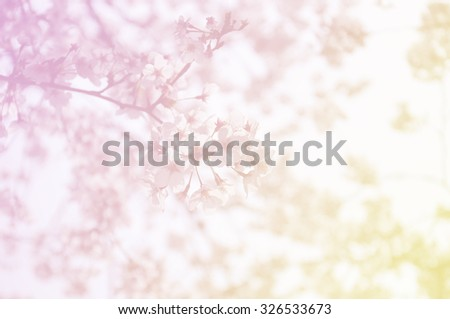 Soft focus of sakura flower on sweet color as background