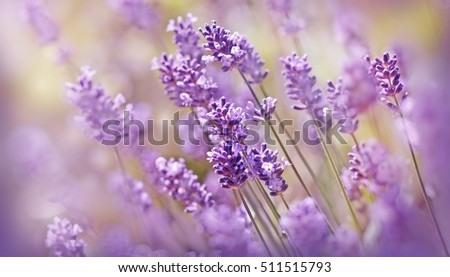 Soft focus on lavender flower, beautiful lavender flower