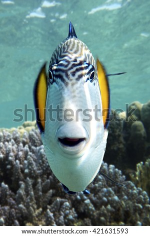 Sohal surgeonfish (Acanthurus sohal) with coral reef