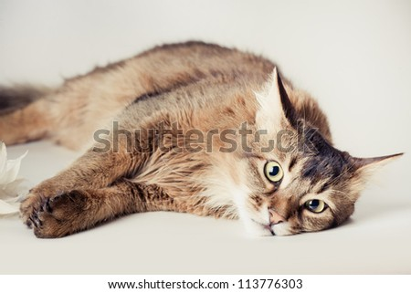Somali cat on light background