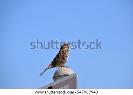 Song Sparrow perched on a post