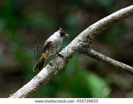 Sooty-headed bulbul on a branch (Pycnonotus aurigaster) in nature of Thailand