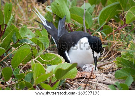 Sooty Tern (Sterna fuscata) with hatching egg at colony at Ned's Beach on Lord Howe Island