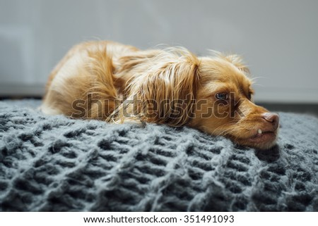 Spaniel mixed breed dog rests relaxed on cushion