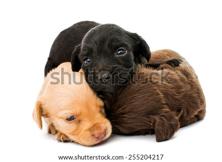 spaniel puppies on a white background