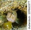 Sphinx blenny fish (Blennius sphinx)  hidding in a hole, in the Black Sea. - stock photo