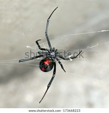 Spider, Australian Red-back,  female spider at rest on web in sandstone crevice