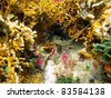 Spiny lobster under water in a hole surrounded by corals, Caribbean sea, Mayan Riviera, Mexico - stock photo