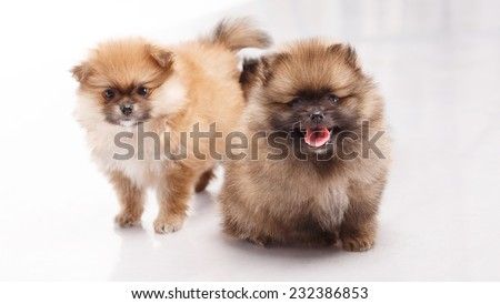 Spitz puppy. Pomeranian Spitz Puppies 1 month (one) on a white background. Spitz puppies. Spitz puppies, one month old, sitting in front of white background