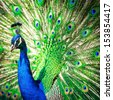 Splendid peacock with feathers out (Pavo cristatus) (shallow DOF; color toned image) - stock