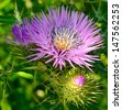 Splendid wild thistles in full spring  - stock photo