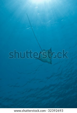 Spotted eagle ray (Aetobatis narinari) and sunbeams. Red Sea, Egypt.