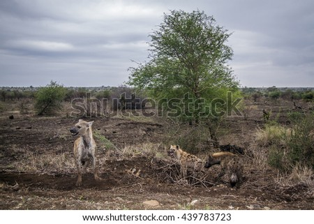 Spotted hyena  in Kruger national park, South Africa ; Specie Crocuta crocuta family of Hyaenidae