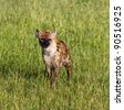 Spotted Hyena on Masai Mara National Reserve - Kenya - stock photo