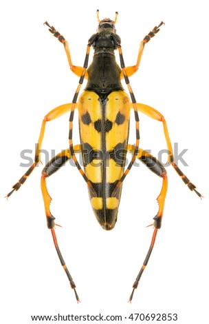 Spotted Longhorn beetle Rutpela maculata male isolated on white background, dorsal view