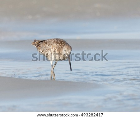 Spotted Sandpiper wading in the ocean water looking for food