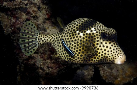 Spotted Trunkfish with Neon Goby